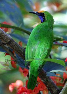 Golden-fronted Leafbird -India, Sri Lanka & parts of S.E. Asia