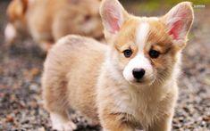 Cute Corgi Puppies ever - Million Pictures Welsh Corgi Puppies, Cute Dogs And Puppies, Pet Dogs, Dog Cat, Baby Corgi, Cute Small Dogs, Puppies Tips, Corgi Pembroke, Cute Baby Animals