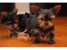 listing cute loving Yorkie Puppies for sale is published on Free Classifieds USA online Ads - http://free-classifieds-usa.com/for-sale/animals/cute-loving-yorkie-puppies-for-sale_i27157