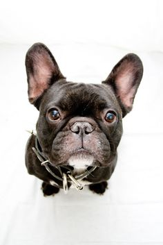 French Bulldog, Photographing Black dogs (and cats) - Canon Digital Photography Forums