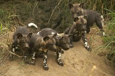 Africa | Wilddog pups (6 - 8 weeks old) at a den site.  Western sector of the Sabi Sands. © Rudi Hulshof.