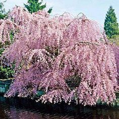 Weeping Double Flowered Cherry
