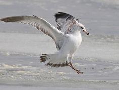 California Gull  Larus californicus  Rare migrant and winter visitor