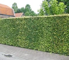 10 Fast Growing Hedges For Privacy - Gardeners' Guide Evergreen Hedging Plants, Tall Shrubs, Bushes And Shrubs, Evergreen Hedge, Tall Plants, Best Trees For Privacy, Privacy Trees, Privacy Plants, Hedges Landscaping