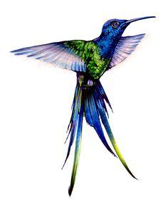 Long Tale Blue Humminbird
