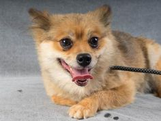 Adopt Cubby, a lovely 5 years  11 months Dog available for adoption at Petango.com.  Cubby is a Pomeranian and is available at the National Mill Dog Rescue in Colorado Springs, Co. www.milldogrescue... #adoptdontshop #puppymilldog #rescue #adoptyourfriendtoday