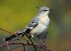 Northern Mockingbird - a family favorite! They do impressions of all the other birds, which is why my husband who also does impressions feels a certain kindred to them! Photo courtesty of www.allaboutbirds.org/guide by Jim Paris.