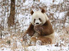 Rare brown giant panda Qizai likes snow - People's Daily Online