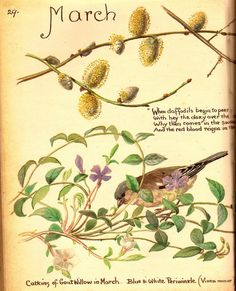 Edith Holden's Writings and Drawings from March 1906 Country Diary of An Edwardian Lady | Edith Holden
