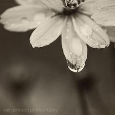 Flower Photography  Black and White Flower and by eireanneilis, $25.00