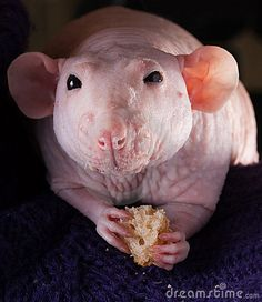 hairless rat image - Google Search