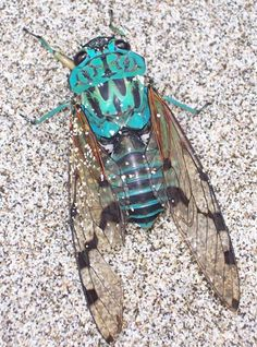 Costa Rican Cicada - What's That Bug?