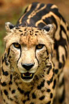 The rare king cheetah has dark markings on their backs. Its a rare genetic occurrence