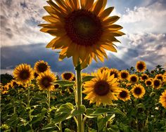 The Story of Sunflowers