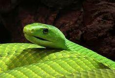 Green Black Mamba.