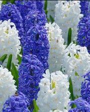 Hyacinth Kansas Mix - Blue Violet color