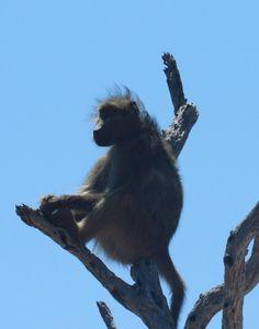 1-Baboon, Kruger NP, SA, oct 5, 2016.Img_2511