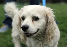 Mozzie is an adoptable Clumber Spaniel Dog in Campbell, CA.  One look at Mozzie and you know he is a sweetheart looking for a fresh start in life! Buddy is a handsome 4 year old clumber spaniel looki...