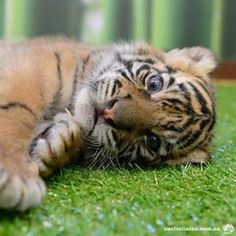 Australia Zoo tiger cub