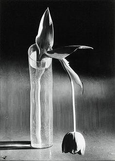 André Kertész (1894-1985), Melancolic Tulip, 1939, Silver print, c. 1970. 24,5 x 17,5 cm without frame,, 55 x 45 x 4 cm with frame, Edition number unknown., © BONO 2011