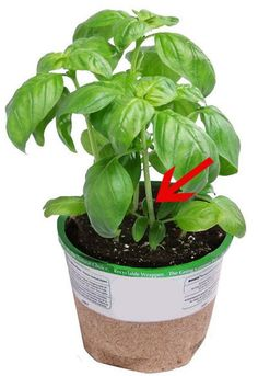 You can grow endless amounts of basil from just one plant! Here's the secret to abundant basil.