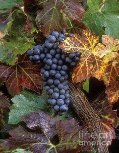 Autumn Zinfandel Cluster - Craig Lovell