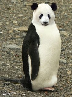 Panguin #hybrid #animals #panda #penguin