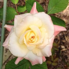 Diana, Princess of Wales rose
