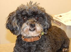Gracie is a sweet 5-year-old Miniature Poodle who weighs 16 pounds. She came from a very bad hoarding situation. She gets along well with other dogs, is crate trained, and is very social. She would be good with a senior citizen who needs a loving and sweet companion. $250 adoption fee. Pets Without Partners adoption events are 10 a.m. to 3 p.m. Saturdays at PetSmart in Redding. Call at 243-6911. Go to www.petswithoutpartners.org.  See more pets at www.redding.com