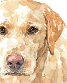 Yellow Lab Watercolor Limited Edition Print, labrador retriever painting Source by The post Yellow Lab Watercolor Limited Edition Print, labrador retriever painting appeared first on Sawyer Dogs. Watercolor Animals, Watercolor Paintings, Watercolor Illustration, Watercolour, Dog Portraits, Animal Paintings, Dog Art, Animal Photography, Equine Photography