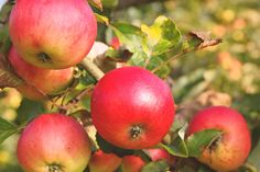 Free Image on Pixabay - Apple, Apple Tree, Fruit, Red Colonial Garden, Off The Grid News, Apple Varieties, Apple Pie Recipes, No Cook Desserts, Spring Blossom, Sweet Tarts, Apple Slices, Landscaping Tips