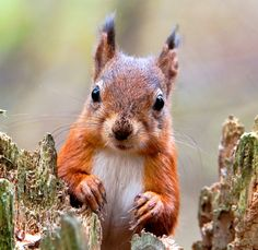 Red Squirrel, Galloway Forest Park, Dumfries and Galloway, Scotland