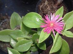 Aptenia cordifolia - Aptênia, maringá, rosinha-de-sol