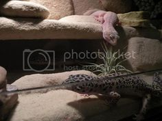 Ultimate Leopard Gecko anti-impaction Solution! | Reptile Forums Lizard Habitat, Rock Background, Fake Rock, Future Love, Black Acrylics, Habitats, In The Heights, Benefit, Leo