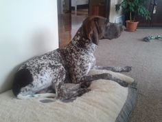 this is my bed :) German Shorthaired Pointer, Bed, Animals, Animales, Stream Bed, Animaux, Animal, Beds, Animais