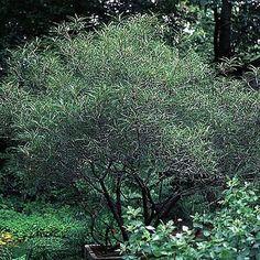 Rhamnus frangula 'Asplenifolia' FERNLEAF BUCKTHORN from Greenleaf Nursery
