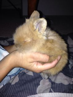 Month old dwarf lionhead bunny rabbit ! Cute ! Just in time for Easter !