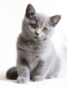 British shorthair kittens - 11 Pictures (11)