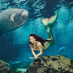 WeekiWachee Mermaid and a curious Manatee. The mermaids of Weeki Wachee Springs State Park in Florida have delighted visitors since 1947! Florida Beach Dweller: https://www.pinterest.com/floridabeachdw/florida-travel-beaches/