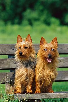 Australian Terriers. I have one. & I promise you, he is the most hilarious & the greatest cuddle buddy on earth!