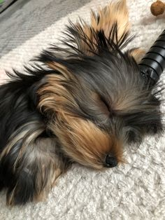 Yorkie Dogs, Yorkies, Yorkshire Terrier Puppies, Dog Rules, Animal Pictures, Fur Babies, Cute Dogs, Hearts, Animals