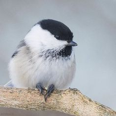 """At one time the willow tit was considered conspecific with the black-capped chickadee of North America due to their very similar appearance. This is seen in an older version of the Peterson Field Guide, Birds of Britain and Europe. Underneath the name it states; """"N Am. Black-Capped Chickadee"""" as an alternate name. In fact the willow tit, black-capped chickadee, marsh tit and Carolina chickadee are all very similar to one another in appearance. #wikipedia :@mimidootanten #thetweetsuites"""