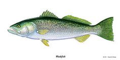 Weakfish or Squeteague  by Charles Harden