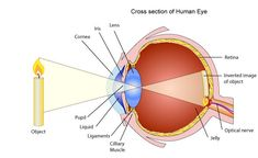 Use of lenses for correcting vision - Pass My Exams: Easy exam revision notes for GSCE Physics Gcse Physics Revision, Exam Revision, Revision Tips, Revision Notes, Gcse Exams, Invert Image, Pass My Exams, Eye Anatomy, Health