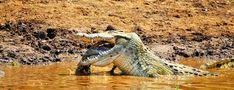 Crocodile eating Impala in the Pafuri area Kruger National Park, National Parks, Crocodile Eating, Snake Images, Baby Tortoise, Camp Rock, Crocodiles, Africa Travel, Crocodile