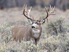 Trophy of the Day Mule Deer Buck, Mule Deer Hunting, Animals And Pets, Baby Animals, Cute Animals, Wild Animals, Big Deer, Deer Pictures, Deer Family