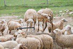 Pecore si dissetano a Castelluccio di Norcia (Umbria, Italy) - Thirsty sheep © Pietro D'Antonio