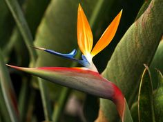 Madeira Bird of Paradise Flower
