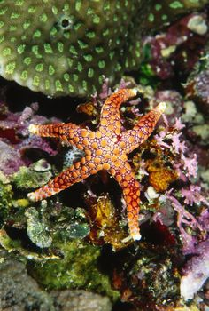 colorful seastar
