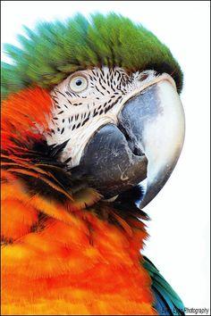 Harlequin macaw. I bushed my hair.  Honest?